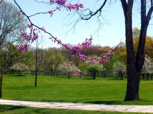 Need an uplifting image? How about redbuds and apple blossoms at Rocky Ridge Farm (Laura Ingalls Wilder Home and Museum).